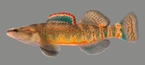Kentucky Arrow Darter